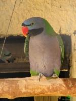 Кольчатые или ожереловые попугаи смотреть фотографии