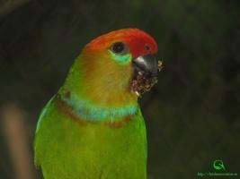 Род Карликовые попугайчики Psittaculirostris