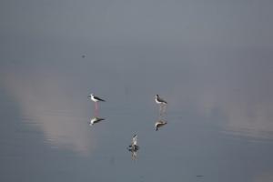 Август!Миграции продолжаются! Птицы на лиманах около Анапы
