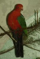 Королевский попугай фотографии