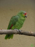Попугай амазон фотографии