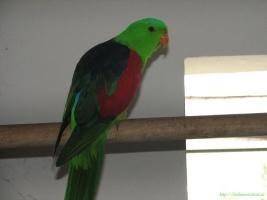 Багрянокрылый или краснокрылый попугай (Aprosmictus erythropterus) фото