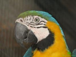 Фото попугая Ara