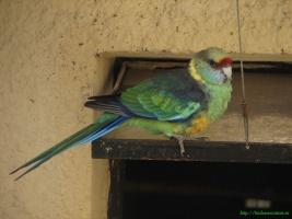 Воротничковая розелла или попугай Барнарда (Barnardius barnardi) фотографии