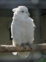 Фото какаду (Cacatuidae)