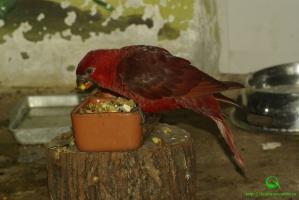 Блестящий лори-кардинал фото (Chalcopsitta cardinalis)