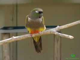 Скалистый попугай (лат. Cyanoliseus patagonus) фото