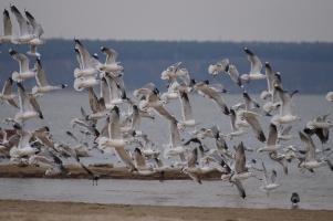 Сизые чайки