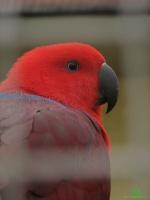 Благородный зелёно-красный попугай