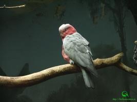 Розовый какаду - Eolophus roseicapillus фото