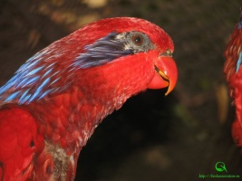 Eos reticulata (Синеухий красный лори)