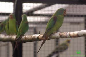 Ласточковый попугай (Lathamus discolor) фото