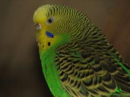 Волнистый попугай фотографии (Melopsittacus undulatus)