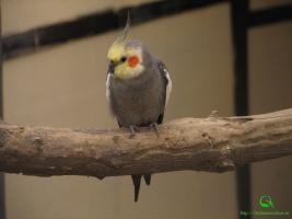 Фото Кореллы (Нимфовый попугайчик)