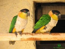 Черноголовый белобрюхий попугай фотографии. Pionites melanocephala