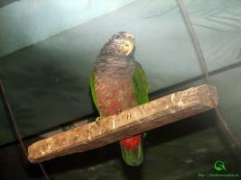 Сероголовый красногузый попугай (лат. Pionus tumultuosus seniloides).