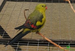 Роскошные попугаи (лат. Polytelis) фотографии