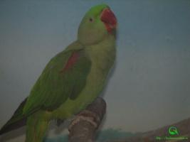 Большой кольчатый, или александрийский, попугай (Psittacula eupatria) фото