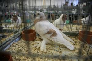 Выставка голубей