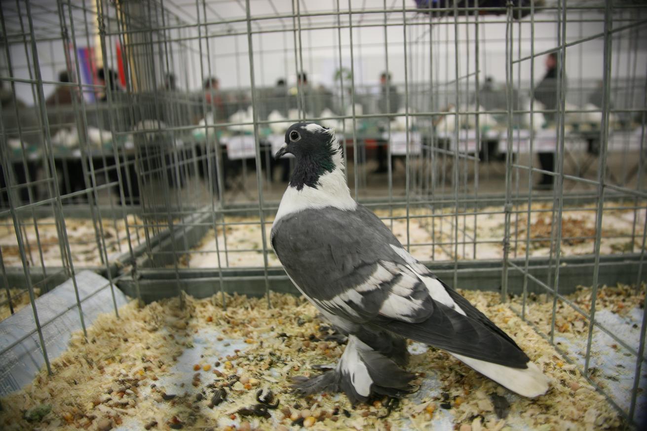 Фото спортивных голубей 2014 года 2