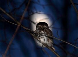 Eurasian Pygmy Owl. Glaucidium passerinum. Воробьиный сычик.