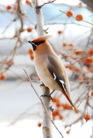 Птица - символ декабря - свиристель