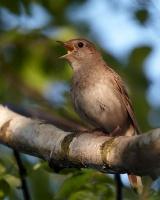 Птица - символ мая - соловей