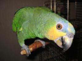 Что делать, если у попугая понос? Понос у волнистого попугая: причины и лечение.
