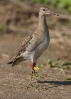 Птица - символ августа - турухтан
