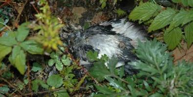 В городе Троицке травят голубей