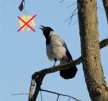Чем можно кормить ворону? Рекомендации ветеринарного врача-орнитолога