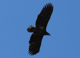 Орлан-белохвост в заповеднике Болоньский