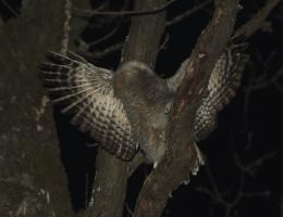 Гнездование обыкновенной неясыти. Послесловие