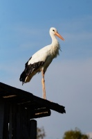 Реабилитация и выпуск белых аистов в орнитологическом приюте Ассоциации любителей птиц