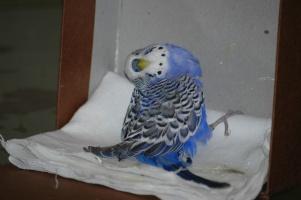 Непредсказуемый попугай с непредсказуемым прошлым из сетевого зоомагазина Бетховен