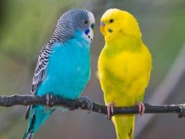 Воспаление зоба у попугая и других птиц. Лечение воспаления зоба в Спб. Стафилококк у птиц.