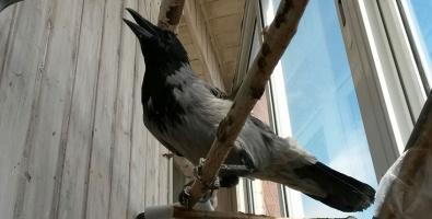 Какие условия приюта для ворон, моя ворона сидит на балконе
