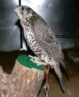 Кречет- птица високосного года 2012-2016
