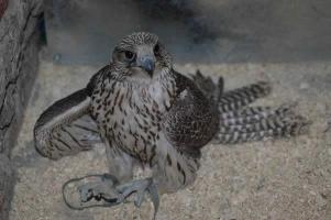 В Думу внесён закон об уголовном наказании за добычу редких видов животных