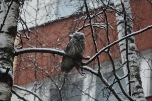 Длиннохвостая неясыть сова в Санкт Петербурге