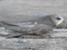 Птица - символ июня - чёрный стриж