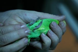 Попугай инвалид из зоомагазина Зоостровок