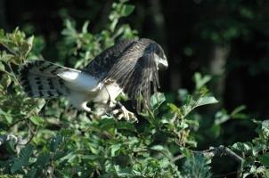 Обучение соколиной охоте. Школа сокольника
