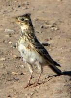 Птица - символ апреля - жаворонок