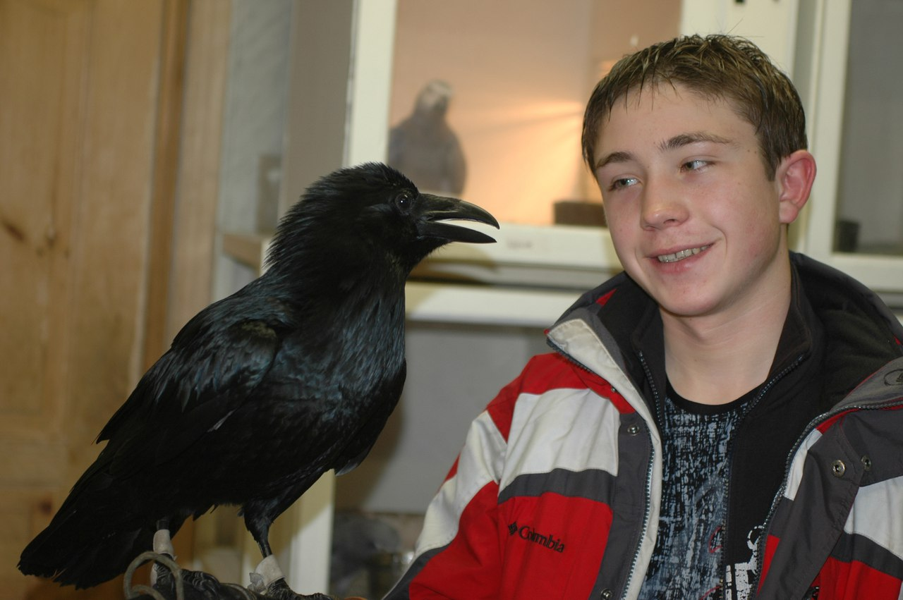Скоро петербуржцы смогут поздороваться с говорящим ручным вороном