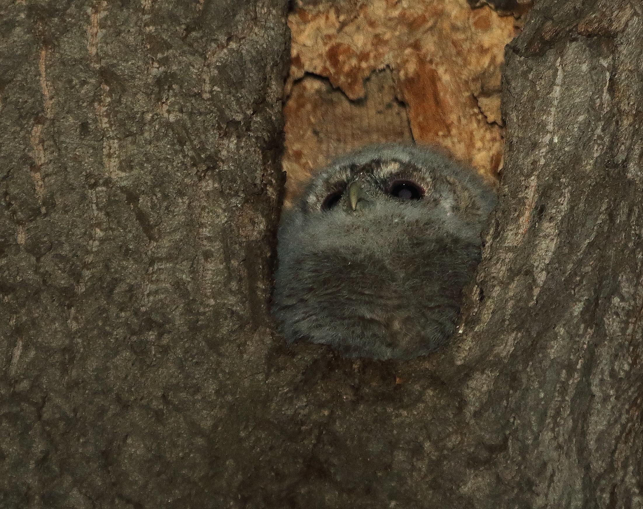 Гнездование обыкновенной неясыти. Продолжение.