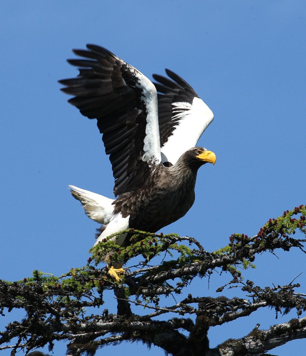 Птица 2019 года - Тихоокеанский орлан